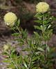 Melaleuca ?, Kings Park, Perth, WA, 20/11/17 (Russell Cumming) Tags: plant melaleuca myrtaceae kingspark perth westernaustralia