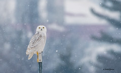 Harfang des Neiges - Snowy Owl (MichelGuérin) Tags: 2018 buboscandiacus canada exterior extérieur harfangdesneiges hiver lightroomcc michelguérin nature nikon nikonafsnikkor200500mmf56eedvr nikond500 qc québec saintaugustindedesmaures snowyowl villedequébec ca