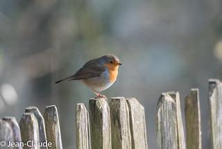 Erithacus rubecula - Robin