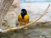 Oriole de Baltimore 1 (jean-daniel david) Tags: oiseau jaune noir nature arbre branche bokeh closeup