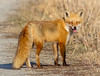 Bright Eyed and Bushy Tailed (tresed47) Tags: 2018 201802feb 20180221bombayhookbirds animals bombayhook canon7d content delaware february folder fox peterscamera petersphotos places season takenby us winter ngc npc