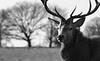 Stag in Winter (andy_AHG) Tags: reddeer stag antlers wildlife animals mammal winter nikond300s