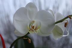 orchidée (bulbocode909) Tags: valais suisse fleurs orchidées nature jaune rouge vert