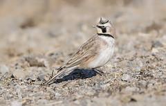 Horned Lark (sspike@rogers.com) Tags: hornedlark lark steverossi wildlife ontario nature field cold winter windy