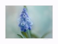 Early morning (Krasne oci) Tags: flowers flowerart blue painterly texturedphoto evabartos macro photographicart artphotography love