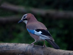 jay 2018 (3) (Simon Dell Photography) Tags: jay bird large uk garden brown nature wildlife simon dell photography silhouette sheffield s12 hackenthorpe shirebrook valley 2018