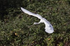 Spatule blanche - Eurasian Spoonbill (Platalea leucorodia) - Le Teich - Réserve ornithologique (Gironde) France, le 25 octobre 2017 (Loïc Le Comte) Tags: spatuleblanche eurasianspoonbill platalealeucorodia leteich