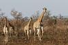 Giraffe - Girafe (happybirds.ch) Tags: afriquedusud africa south kruger national park knp wild sauvage nature happybirds mammal mammifère girafe giraffe