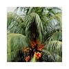 orange coco (andangkosasih) Tags: palm coconut