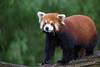 Wo bleibt sie denn? (Mel.Rick) Tags: tiere raubtiere säugetiere animal mammals kleinerpanda natur yang