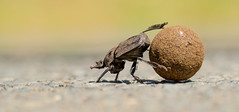 Dung Beetle (dunderdan77) Tags: dung beetle st lucia south africa kwa zulu natal nikon tamron d500 150600 nature wildlife bug