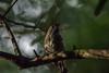 North Island Robin (njohn209) Tags: birds d500 nikon nz