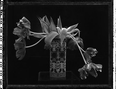 tulipes d'hiver (JJ_REY) Tags: tulipes tulips hiver winter grandformat largeformat 4x5 blackandwhite polaroid t55 peelapart toyofield 45a sironarn 150mm epson v800 colmar alsace france