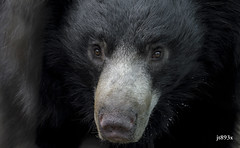 Portrait of a Sloth Bear (jt893x) Tags: 150600mm bear d500 jt893x melursusursinus nikon nikond500 portrait sigma sigma150600mmf563dgoshsms slothbear coth thesunshinegroup alittlebeauty