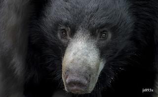 Portrait of a Sloth Bear