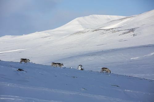 Svalbardrein