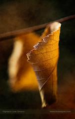 Warm at last moment (ILO DESIGNS) Tags: 2017 artística d3300 hojas macro madrid naturaleza otoño septiembre texturing nature naturallight leaves leaf closeup tree autumn fall wildlife sunrise brown sunlight sigma15028 warm