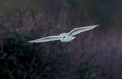 JWL1001  Barn Owl ... (jefflack Wildlife&Nature) Tags: barnowl owl owls barns raptors birdsofprey birds avian animal animals wildlife wildbirds wetlands woodlands farmland forest heathland hedgerows fields moorland marshland meadows marshes countryside norfolk nature