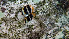 Butterflyfish, Threeband (Insequent) Tags: butterflyfisheschaetodontidae lordhoweisland newsouthwales australia