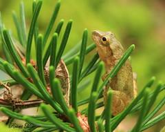 Spring Peeper Perched on Pine Needles (Bob the Birdman and All Around Nature Guy) Tags: springpeeper pseudacriscrucifer robertmiesner bobthebirdman frog amphibian macro animal nature wildlife