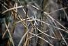 Branches (STE) Tags: phytolacca fusto fusti secco secchi dried helios bokeh