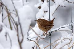 DSC_3336_DxO troglodyte (Berzou) Tags: troglodytemignon bird oiseau nature naturebynikon tamron150600 nikond7200