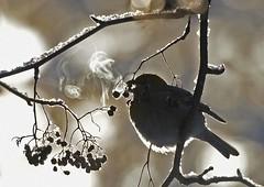 Taviokuurna, Pinicola enucleator,Pine Grosbeak (Paavo Laine) Tags: taviokuurna pinicolaenucleator pikkulintu käpylinnut talvi lumi marjalintu