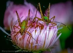 Baby Katydids (lastminutephoto) Tags: babies insects flowers macro katydids slidefilm