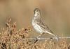 Pipit spioncelle (Michel Idre - 7 millions de vues merci) Tags: oiseau bird aves gruissan aude pipitspioncelle