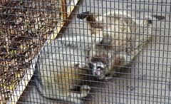 20171121 (45) Raccoon Busch Wildlife Sanctuary Jupiter PBC FL USA (FRABJOUS DAZE - PHOTO BLOG) Tags: buschwildlifesanctuary busch wildlife sanctuary jupiter pbc palmbeachcounty florida fl fla usa yhdysvallat luontokuva luontokuvaus naturephoto naturephotography raccoon pesukarhu