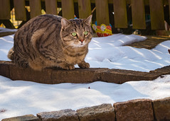 Don't let your paws touch the snow (FocusPocus Photography) Tags: sethi katze kater cat chat gato tier animal haustier pet tabby schnee winter garten garden snow