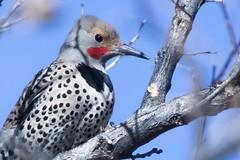 Woodpecker (Anna Gurule) Tags: birds beautiful newmexico nmbirds nature artedgy annagurule annaortizgurule animals wildlife