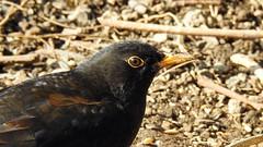 Blackbird (tobystacey) Tags: black blackbird bird naturephotography nature naturel natureshots naturebest photography photo animal animalphotography wildlife