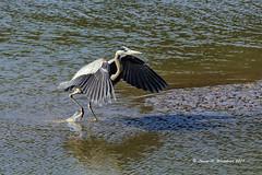 021918 Heron Hop (wildcatlou) Tags: nisquallynationalwildliferefuge latewinter nature wildlife birds water estuary lowtide heron greatblueheron mud reflections tracks