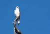 black shouldered kite (crispy1612) Tags: black shouldered kite albury birdlife birds prey nikon d500 200500 f56