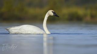 Trumpeter Swan 9