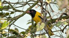 DSC_0336-Edit.jpg (naser7363) Tags: blackheadedoriole birds