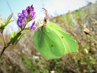 Butterfly 1556