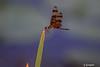 DSC_6992 ~ Dragonfly (stephanie.ovdiyenko) Tags: dragonfly florida floridawetland insect halloweenpennant halloweenpennantdragonfly