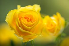 rose 7075 (junjiaoyama) Tags: japan flower rose yellow bokeh winter macro