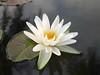 บัวลูกผสมข้ามสกุลย่อย 'ยาคูล' Nymphaea 'Yakult' HxT (Intersubgeneric) Waterlily TH8 (Klong15 Waterlily) Tags: yakultwaterlily waterlily waterlilies landscape landscapes pond pondplant hxtwaterlily lotus lotusflower flowerlover บัวลูกผสมข้ามสกุลย่อย บัว ดอกบัว
