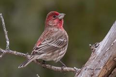 IMG_7080 red finch (starc283) Tags: starc283 wildlife flickr flicker canon canon7d bird birding birds finch outdoors outdoor redfinch