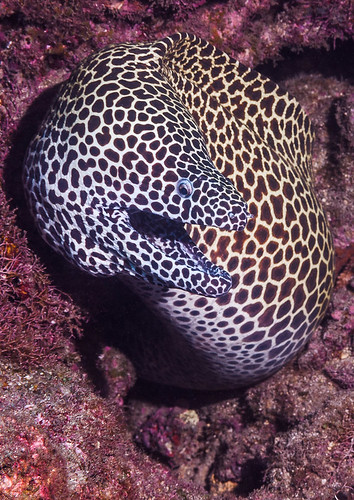 Blackspotted Moray - Gymnothorax favagineus
