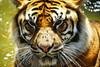 Sumatran Tiger & flies! (Bl.Mtns.Grandma) Tags: sumatran tiger flies taronga zoo sydney