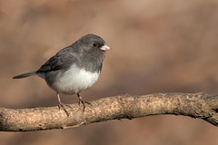 Junco (explored 01/30/2018) (Lynn Tweedie) Tags: junco branch wood gray white missouri bokeh explore explored ngc