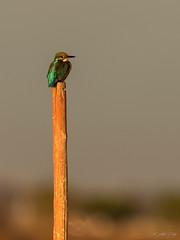 Martine dans la lumière (CycyM) Tags: oiseau poteau pose lumière bokeh nature extérieur hérault martinpêcheur étang