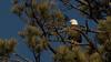 Bald Eagle (keaton_vanderploeg) Tags: birds raptors eagles bald eagle wildlife animals arizona flagstaff nature