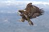 Golden Eagle (Chas Moonie-Wild Photography) Tags: golden eagle aquila chrysaetos wild mountain snow flight prey raptor ngc