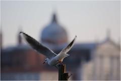 in un batter d'ali (GiophotoArt) Tags: venezia volo ali piccione