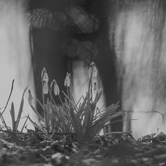 HMBT + HFF (cнαт-ɴoιr^^) Tags: 20170312imgp5475 monochromebokehthursday hbmt pentaxk5ii 300mm f4 happyfencefriday hff flora fleur flower fiori blume frühling printemps primavera lente schneeglöckchen